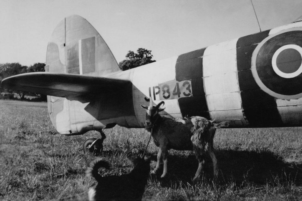 JP843 Thorney Island. Dog Blitz Teasing William de Goat By JP843